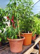 Chilli Plants for sale